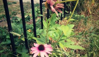 Echinacea escaping the garden