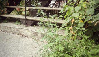Mugwort wandering up the stairs