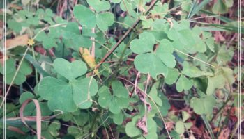 Yellow Wood Sorrel on the sidewalk.