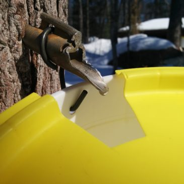 Tapping Maple Trees for Syrup. Part 1: